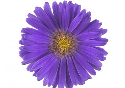 Elite Lavender