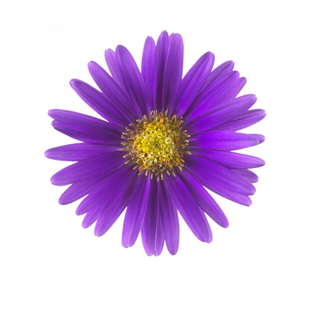 Royal purple copy copy royal aster for Sater com